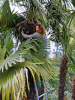 Switzerland. Canton Ticino. Massagno. Gardener in a palm tree. 14.02.2011 © 2011 Didier Ruef