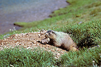 Hoary Marmot removing rock from its den.  Northern Rockies.. (Also see images # Mz92,93,99, 100,102.)