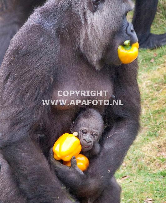 Apeldoorn, 300311<br /> Burgemeester Fred de Graaf op kraambezoek bij de gorilla's in de Apenheul . Hij trakteerde de groep op een fruit en groentetaart. Nadat eerst de grote jongens zich vol hadden gevreten durfden de moeders voorzichtig met de kleintjes fruit te pakken.<br /> Foto: Sjef Prins - APA Foto