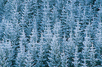 Norway spruce, Picea abies, with frost, Oberaegeri , Switzerland