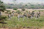 Burchell's zebras, Zimbabwe, Africa