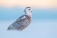 A juvenile Snowy Owl carefully scans the horizon for competing owls as the blowing snow occassionally obscures the owl.  Using stiff wing beats, a Snowy Owl lifts its body nearly straight up and into the air after spotting a vole in the grass nearby.