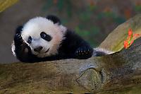 Baby Giant Panda.