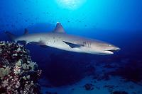 whitetip reef shark, Triaenodon obesus, Maui, Hawaii, USA, Pacific Ocean