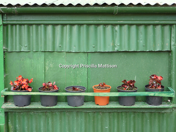 Begonias in plastic pots line up outside a shack, Killarney National Park, Ireland.