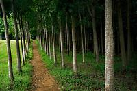 Trail through Mahi Mahakonia mahogany plantation. From Wai Koa Loop Trail Kauai, Hawaii