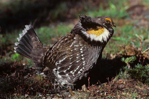 Blue Grouse or Sooty Grouse (Dendragapus fuliginosus) male hooting--mating-territorial display.  WA.  May-June.