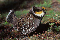 Blue Grouse or Sooty Grouse (Dendragapus fuliginosus) male hooting--mating-territorial display.  WA.  May-June.