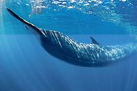 blue whale, Balaenoptera musculus, San Diego, California, USA, Pacific Ocean