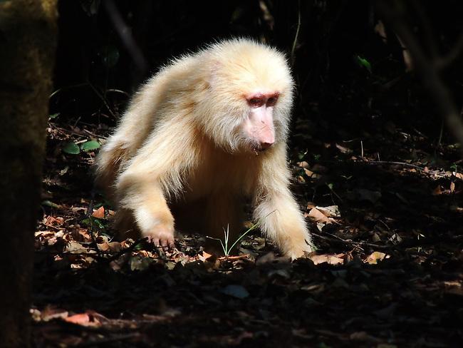 Leucistic Baboon
