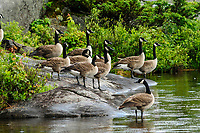 A flock of Canda Geese on a lakeshore in The Adirondack Mountains In New York State