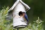 Eastern Bluebird (Sialia sialis) bringing food to his offspring.  Summer.  Winter, WI.