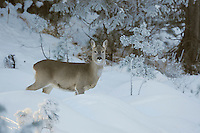 Roe Deer (Capreolus capreolus), adult in snow, St. Moritz, Switzerland, Europe