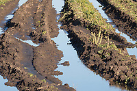 21-1-2021 Crop of brassica left part unharvested on farmland flooded in Lincolnshire <br /> ©Tim Scrivener Photographer 07850 303986<br />      ....Covering Agriculture In The UK....