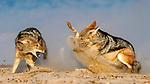 Jackals battle at dawn by Elzabe Bogenhofer
