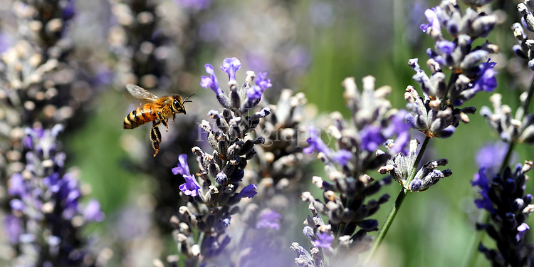 Day 8 photo of little busy bee on some lavender plants on a field on Kangaroo Island South Australia.