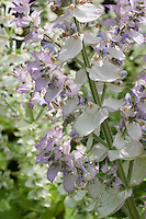 Muskatellersalbei, Muskateller-Salbei, Muskat-Salbei, Muskatsalbei, Römischer Salbei, Scharlei, Muskatellasalbei, Muskatella-Salbei, Salbei, Salvia sclarea, clary, clary sage, Muscatel Sage