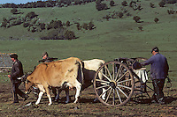Europe/France/Auvergne/12/Aveyron : Aubrac - Transport du lait au buron de canut - Fourme de Laguiole AOC <br /> PHOTO D'ARCHIVES // ARCHIVAL IMAGES<br /> FRANCE 1980