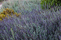 Lavandula x ginginsii 'Goodwin Creek Grey; lavender flowering at South Coast Research and Extension Center; University of California ANR