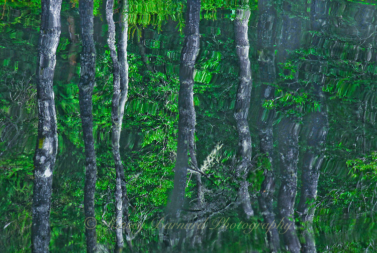 """""""BAFFLING BIRCH""""<br /> <br /> Mysterious birch trees reflecting in a pond. ORIGINAL 24 X 36 GALLERY WRAPPED CANVAS SIGNED BY THE ARTIST $2,500. CONTACT FOR AVAILABILITY."""