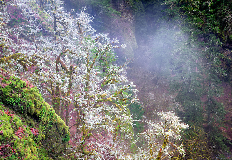 Moss and fog in forest. Eagle Creek basin. Columbia River Gorge National Scenic Area, Oregon