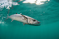 king mackerel, Kingfish, Scomberomorus cavalla, Florida, USA, Atlantic Ocean