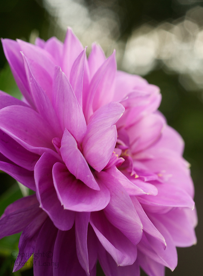 A Dahlia Early This Morning