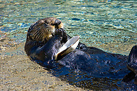 California Sea Otter (Enhydra lutris nereis) Eating a Clam after breaking it open on it's stomach (c) (do)