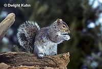 MA23-023z   Gray Squirrel - looking around for danger - Sciurus carolinensis