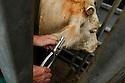 29/09/05 - BOURBON L ARCHAMBAULT - ALLIER - FRANCE - SICABA. Societe d Interet Collectif Agricole de Bourbon l Archambault. Abattage, decoupe, conditionnement et commercialisation de viande de bovin, d ovin et de porc. Pose d une boucle d abattage - Photo Jerome CHABANNE