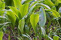 Wild Garlic / Ramsons (Allium ursinum) leaves emerging in early spring. Peak District National Park, Derbyshire, UK. March.