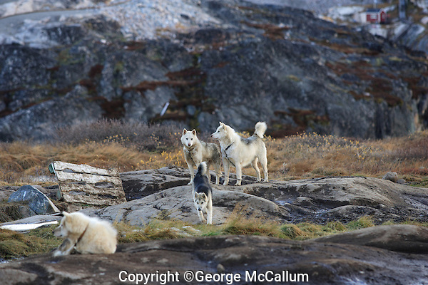 Greenland Huskys or sled dogs  Disco bay, Greenland