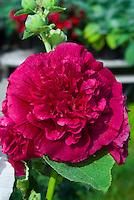Alcea rosea Chater's Double Hollyhock Scarlet in bloom