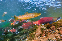 Red salmon, Oncorhynchus nerka, Kokanee, and Brown trout, Salmo trutta, East River, Colorado