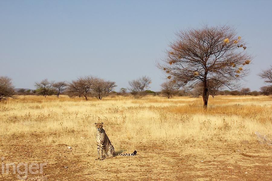 Cheetah at Otjitotongwe