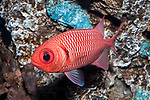 Bigscale soldierfish swimming left