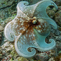 Common Octopus<br />
