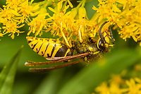A Widow Yellowjacket (Vespula vidua) forages on a Goldenrod flower.