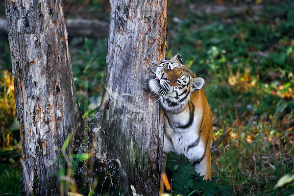 Siberian Tiger (Panthera tigris altaica) rubbing against scent marked tree--where another tiger has urinated or scratched,