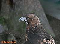 0115-08vv  Injured Red-tailed Hawk at Rehabilitation Center - Buteo jamaicensis © David Kuhn/Dwight Kuhn Photography.