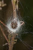 Körbchenspinne, Körbchen-Spinne, Strauchradspinne, Strauch-Radspinne, Agalenatea redii, Araneus redii, in ihrem Netz sitzend, bush orbweaver, basketweaver