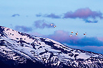 Coscoroba Swan<br /> (Coscoroba coscoroba) flock flying over mountains, Torres del Paine National Park, Patagonia, Chile