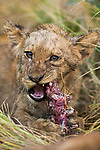 African Lion (Panthera leo) cub feeding on Puku (Kobus vardonii) prey, Kafue National Park, Zambia