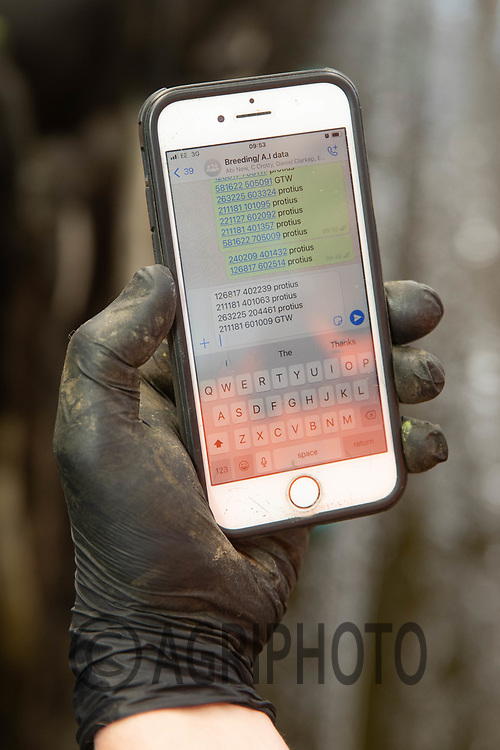 27-5-2021 Breeding AI data on a farmers phone <br /> ©Tim Scrivener Photographer 07850 303986<br />      ....Covering Agriculture In The UK....