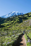 Hikers follow the Skyline Trail from Mazama Ridge along the Paradise River toward the Paradise Vistor Center in Mt. Rainier National Park, wildflowers provide foreground for the rugged glaciers.