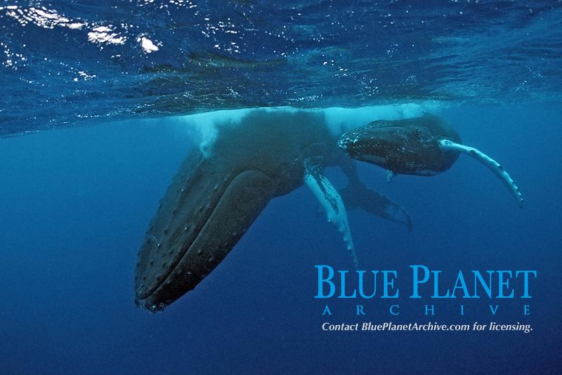 Humpback whale, mother and calf, Megaptera novaeangliae, Rurutu, Pacific Ocean, Tahiti, French Polynesia