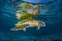 A Hawksbill turtle, Eretmochelys imbricata, rests just under the surface near a beach. This species is critically endangered and is found worldwide. Raja Ampat, Papua, Indonesia, Pacific Ocean