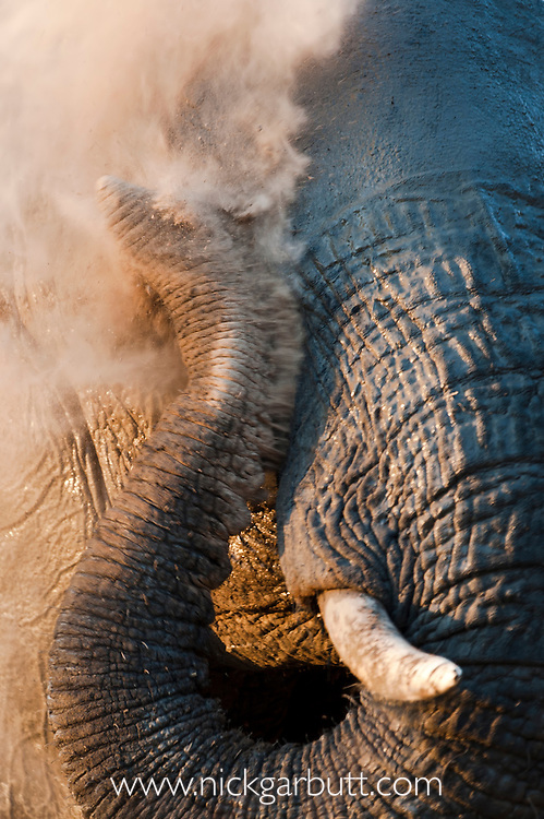 Adult African Elephant (Loxononta africana) dust bathing on the banks of the Luangwa River. South Luangwa National Park, Zambia.