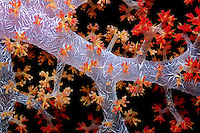 Soft coral, Dendronephthya sp., filters plankton from the water, Fiji, Indo-Pacific