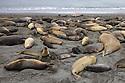 Southern Elephant Seal (Mirounga leonina) colony. St. Andrews Bay, South Georgia. November.